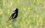 BIRD - BOBOLINK - MCKEE MARSH ILLINOIS (11).JPG