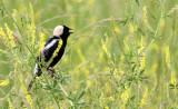 BIRD - BOBOLINK - MCKEE MARSH ILLINOIS (12).JPG
