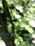 BIRD - BUNTING  - INDIGO BUNTING - LINCOLN MARSH ILLINOIS (3).JPG