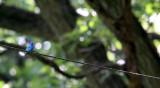 BIRD - BUNTING - INDIGO BUNTING - LINCOLN MARSH ILLINOIS (8).JPG
