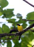 BIRD - COMMON YELLOWTHROAT - LINCOLN MARSH ILLINOIS (2).JPG