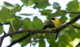 BIRD - COMMON YELLOWTHROAT - LINCOLN MARSH ILLINOIS (4).JPG