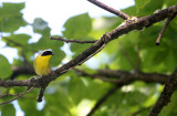BIRD - COMMON YELLOWTHROAT - LINCOLN MARSH ILLINOIS (6).JPG
