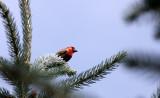 BIRD - FINCH - HOUSE FINCH - MORTON ARBORETUM ILLINOIS (2).JPG