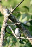 BIRD - GNATCATCHER - BLUE-GRAY GNATCATCHER - MCKEE MARSH ILLINOIS (4).JPG
