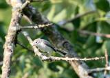 BIRD - GNATCATCHER - BLUE-GRAY GNATCATCHER - MCKEE MARSH ILLINOIS.JPG