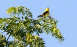 BIRD - GOLDFINCH - AMERICAN GOLDFINCH - MCKEE MARSH ILLINOIS (10).JPG