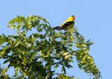 BIRD - GOLDFINCH - AMERICAN GOLDFINCH - MCKEE MARSH ILLINOIS (5).JPG