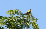BIRD - GOLDFINCH - AMERICAN GOLDFINCH - MCKEE MARSH ILLINOIS (7).JPG