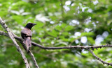 BIRD - GRACKLE - COMMON GRACKLE - LINCOLN MARSH ILLINOIS (2).JPG