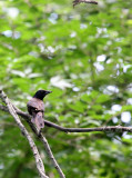 BIRD - GRACKLE - COMMON GRACKLE - LINCOLN MARSH ILLINOIS.JPG
