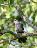 BIRD - GRAY CATBIRD - MCKEE MARSH ILLINOIS (2).JPG