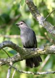 BIRD - GRAY CATBIRD - MCKEE MARSH ILLINOIS (5).JPG