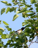 BIRD - GROSSBEAK - ROSE-BREASTED GROSSBEAK - MCKEE MARSH ILLINOIS.JPG