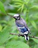 BIRD - JAY - BLUE JAY - MCKEE MARSH ILLINOIS (2).JPG