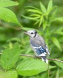 BIRD - JAY - BLUE JAY - MCKEE MARSH ILLINOIS (5).JPG