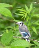 BIRD - JAY - BLUE JAY - MCKEE MARSH ILLINOIS (7).JPG