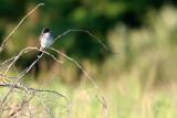 BIRD - KINGBIRD - EASTERN KINGBIRD - MCKEE MARSH ILLINOIS (6).JPG