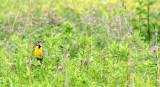BIRD - MEADOWLARK - EASTERN MEADOWLARK - MCKEE MARSH ILLINOIS (2).JPG