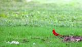BIRD - NORTHERN CARDINAL - MORTON ARBORETUM ILLINOIS.JPG