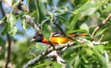 BIRD - ORIOLE - BALTIMORE ORIOLE - MCKEE MARSH ILLINOIS (2).JPG
