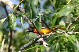 BIRD - ORIOLE - BALTIMORE ORIOLE - MCKEE MARSH ILLINOIS (3).JPG
