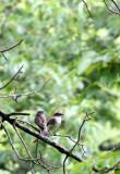 BIRD - PHOEBE - EASTERN PHOEBE - MCKEE MARSH ILLINOIS.JPG