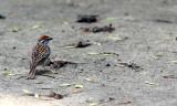 BIRD - SPARROW - CHIPPING SPARROW - WHEATON ILLINOIS (3).JPG