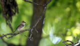BIRD - SPARROW - CHIPPING SPARROW - WHEATON ILLINOIS (4).JPG