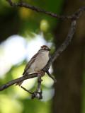 BIRD - SPARROW - CHIPPING SPARROW - WHEATON ILLINOIS (7).JPG
