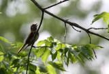BIRD - SPARROW - SONG SPARROW - LINCOLN MARSH ILLINOIS.JPG