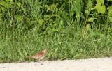 BIRD - THRASHER - BROWN THRASHER - MCKEE MARSH ILLINOIS (2).JPG