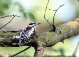 BIRD - WOODPECKER - DOWNY WOODPECKER - MCKEE MARSH ILLINOIS (7).JPG
