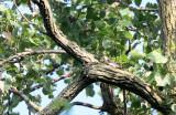 BIRD - WOODPECKER - RED-BELLIED WOODPECKER - MCKEE MARSH ILLINOIS (4).JPG