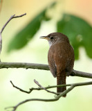 BIRD - WREN - HOUSE WREN - MORTON ARBORETUM ILLINOIS (12).JPG