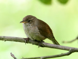 BIRD - WREN - HOUSE WREN - MORTON ARBORETUM ILLINOIS (7).JPG