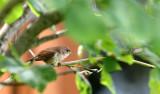 BIRD - WREN - HOUSE WREN - MORTON ARBORETUM ILLINOIS.JPG