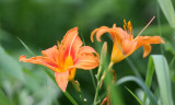 LILIACEAE - TIGER LILY - LINCOLN MARSH ILLINOIS.JPG