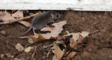 RODENT - MOUSE - WHITE-FOOTED DEER MOUSE - PEROMYSCUS LEUCOPUS - MCKEE MARSH ILLINOIS (2).JPG