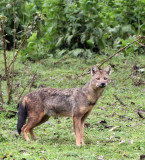 Bale Mountains Mystery Jackal!