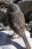 BIRD - ACCENTOR Alpine Accentor (Prunella collaris) - SAI ZONG GOMPA QINGHAI CHINA (2).JPG