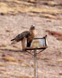 BIRD - BUZZARD - UPLAND BUZZARD -  KEKEXILI NATIONAL RESERVE - QINGHAI PROVINCE - WEST OF QUMALAI (14).JPG