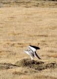 BIRD - BUZZARD - UPLAND BUZZARD - KEKEXILI NATIONAL RESERVE - QINGHAI PROVINCE - EASTERN SECTOR (15).JPG