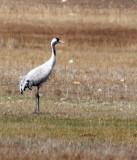 BIRD - CRANE - COMMON CRANE - QINGHAI LAKE CHINA (3).JPG
