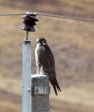 BIRD - FALCON - SAKER FALCON - KEKEXILI NATIONAL RESERVE - QINGHAI PROVINCE - EASTERN SECTOR (7).JPG