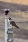 BIRD - FALCON - SAKER FALCON - KEKEXILI NATIONAL RESERVE - QINGHAI PROVINCE - EASTERN SECTOR (9).JPG