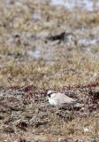 BIRD - FINCH - MONGOLIAN FINCH - BUCANETES MONGOLICUS -  KU HAI LAKE QINGHAI CHINA (13).JPG