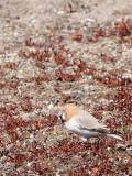 BIRD - FINCH - MONGOLIAN FINCH - BUCANETES MONGOLICUS -  KU HAI LAKE QINGHAI CHINA (17).JPG