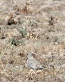 BIRD - FINCH - MONGOLIAN FINCH - BUCANETES MONGOLICUS -  KU HAI LAKE QINGHAI CHINA (6).JPG
