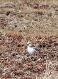 BIRD - FINCH - MONGOLIAN FINCH - BUCANETES MONGOLICUS -  KU HAI LAKE QINGHAI CHINA (8).JPG